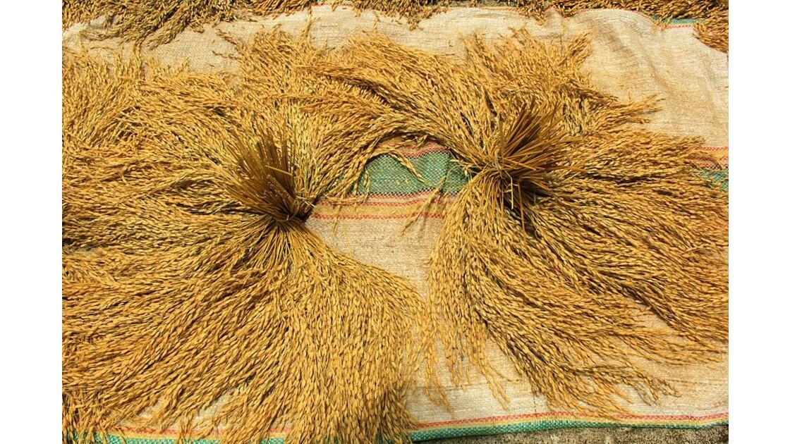134 détail du riz au séchage.