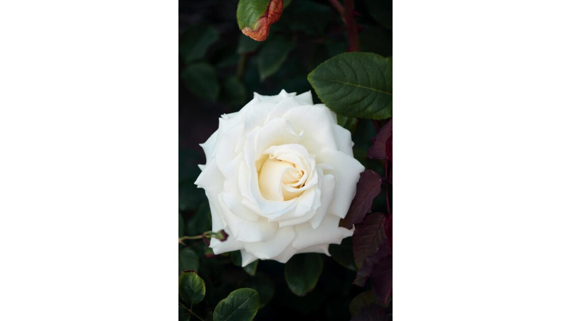 6654 - ROSES D'AGADIR  N°28