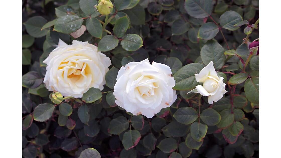 6634 - ROSES D'AGADIR  N°33