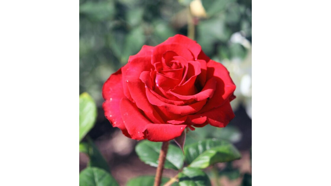 6652 - ROSES D'AGADIR  N°34