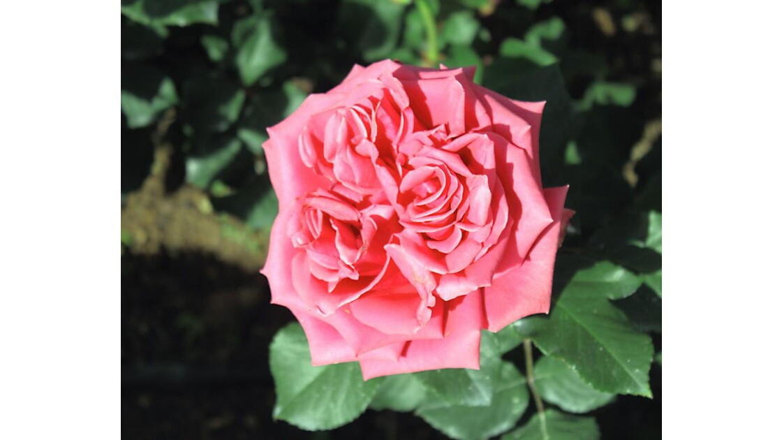 5999 - ROSES D'AGADIR   N°35