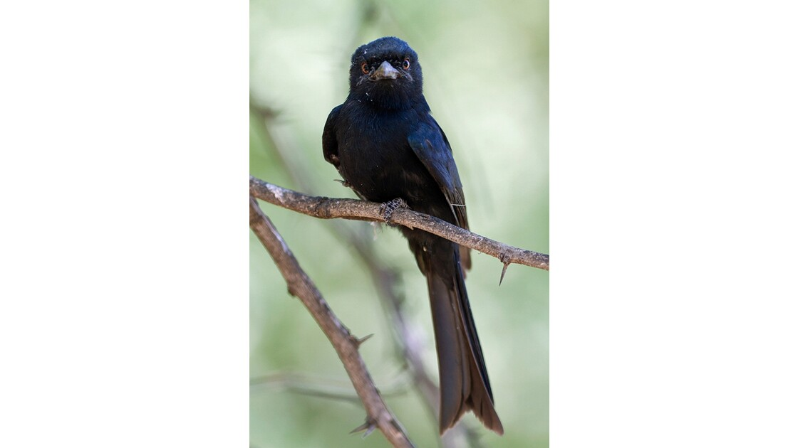fork_tailed_drongo_2.jpg