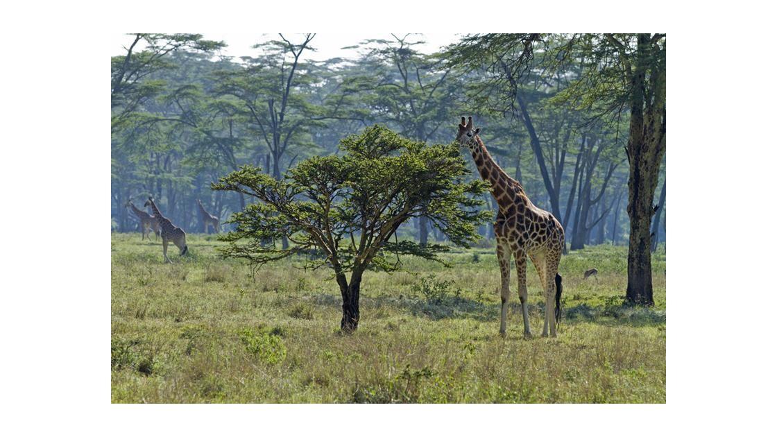 girafes_de_Nakuru.jpg