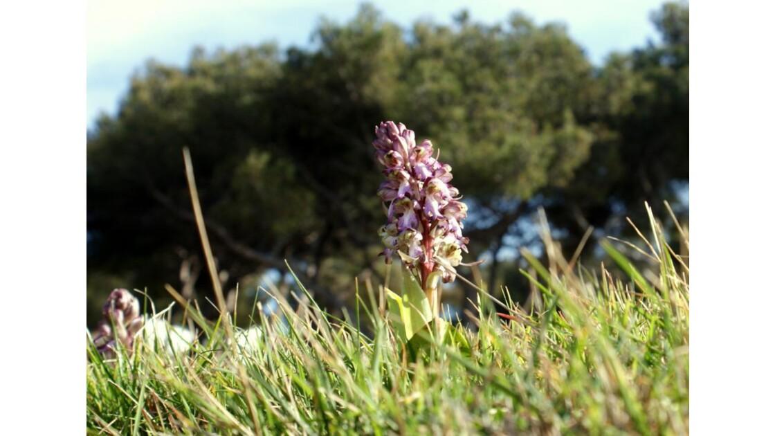Orchidée sauvage...