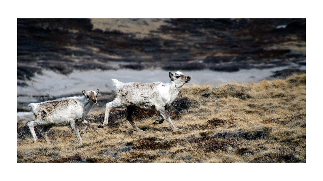 Caribous - Groenland
