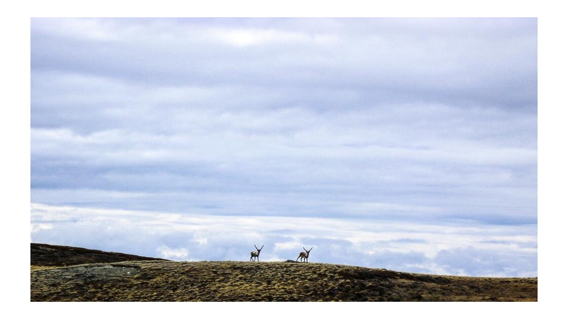 Caribous aux aguets