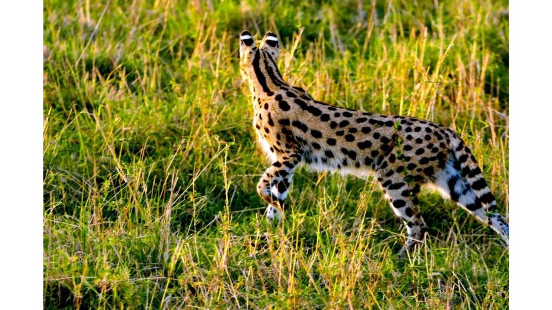 serval-6