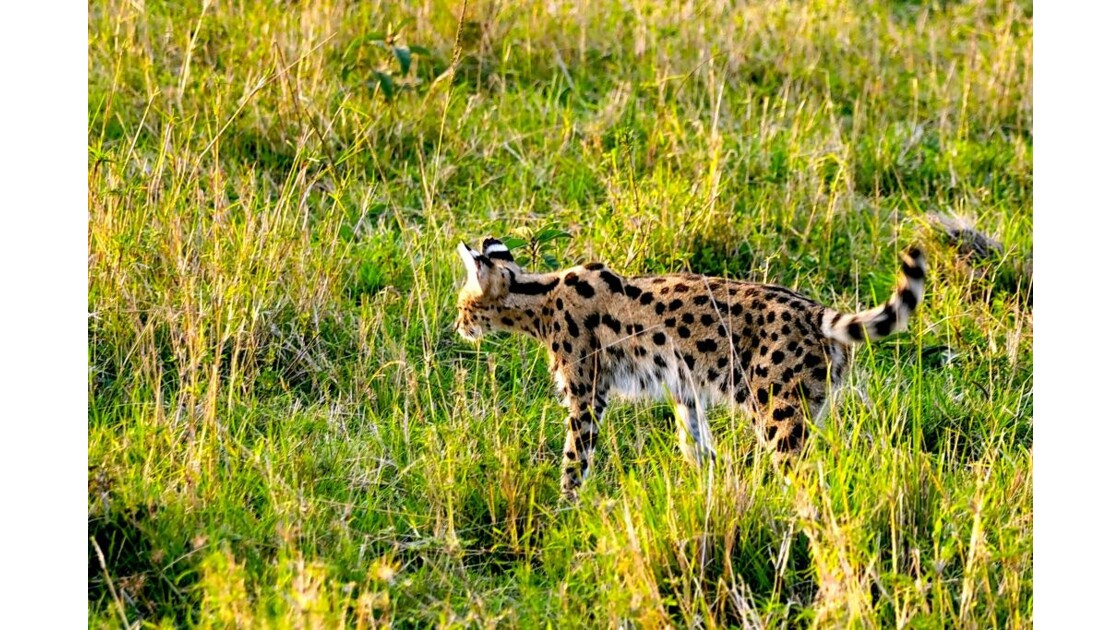 serval-3