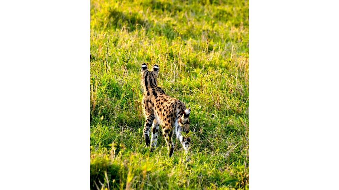 serval-7