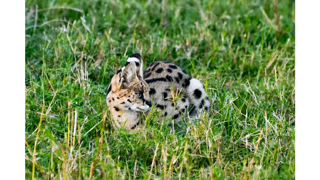 serval-15