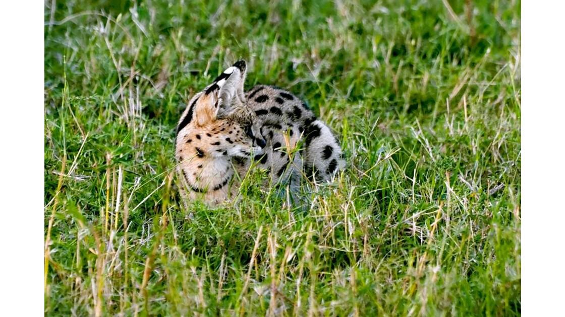 serval-16