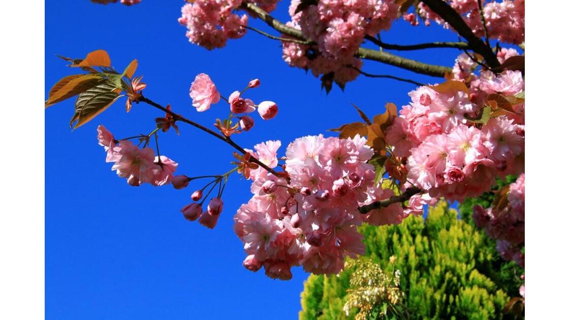 rameau de cerisier japonais