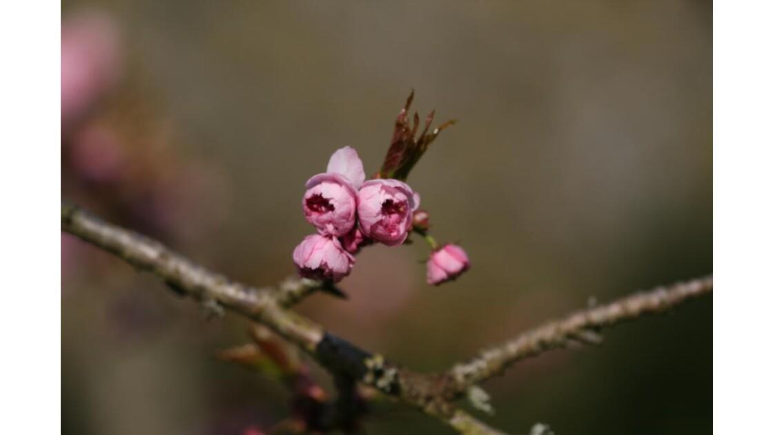 013 bourgeon rose