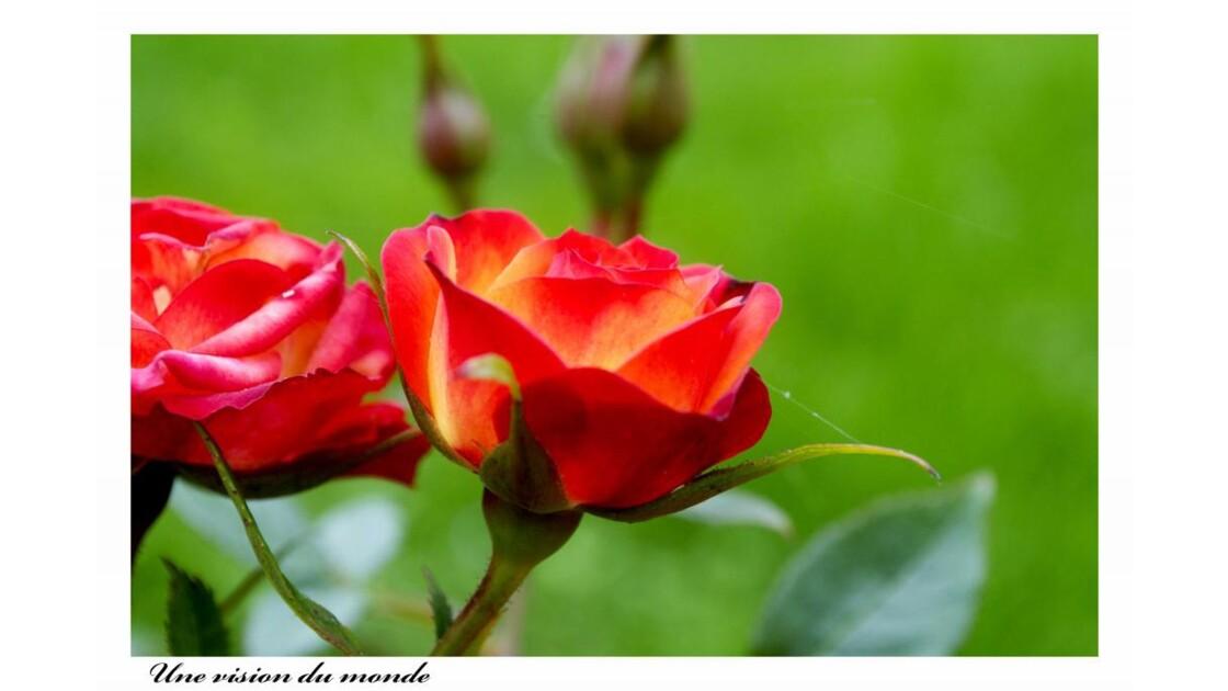Roses sur lit de gazon
