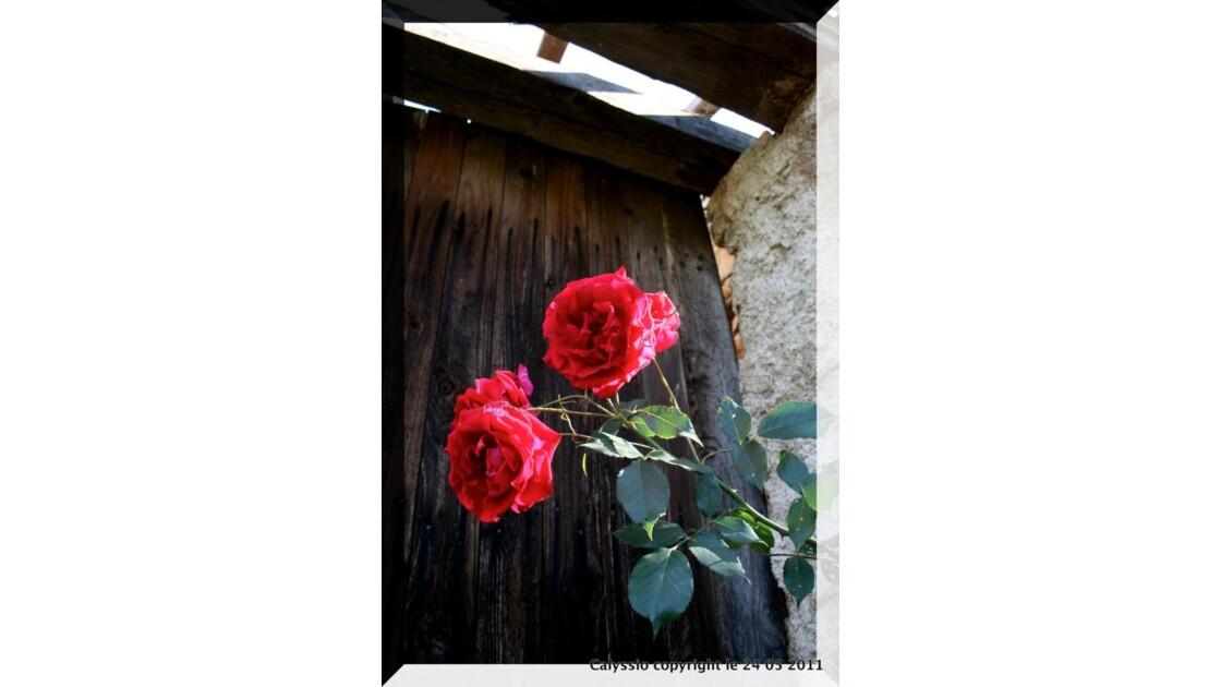 Les roses gardiennes du passé