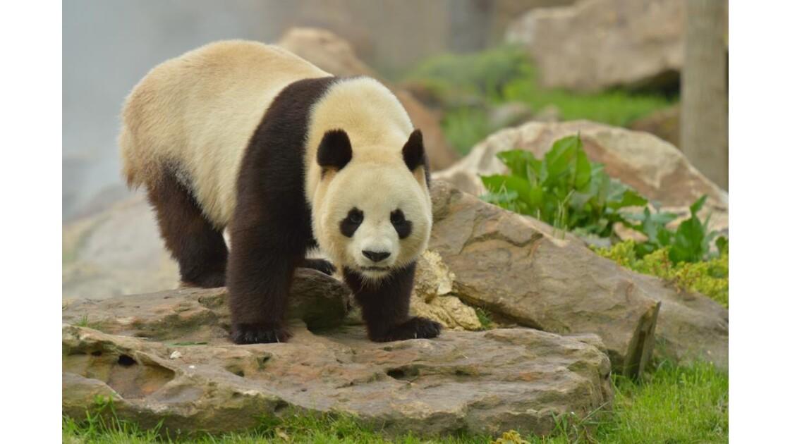 Panda Yuan Zi 5