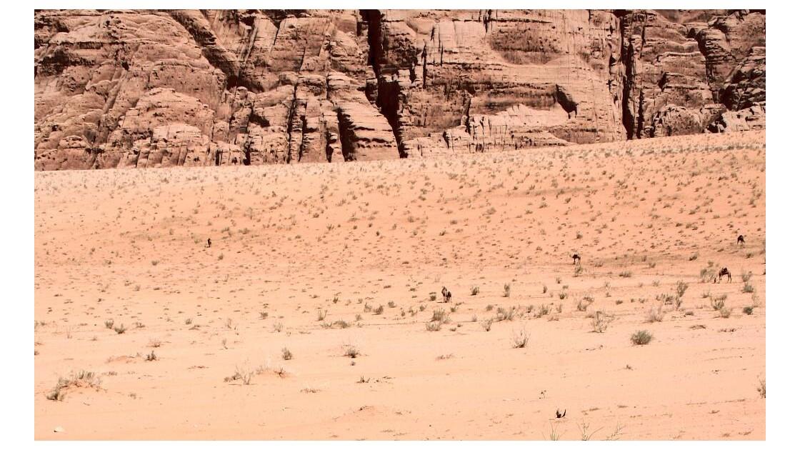 Dromadaires du Wadi Rum