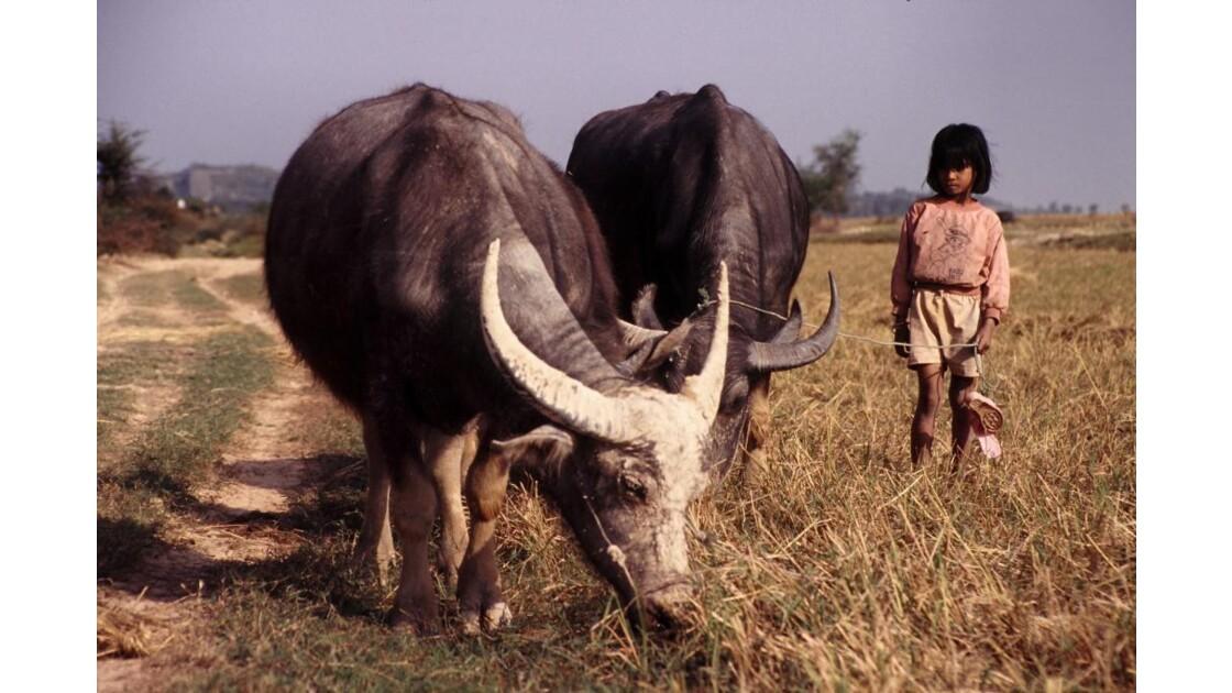 Buffles cambodgiens