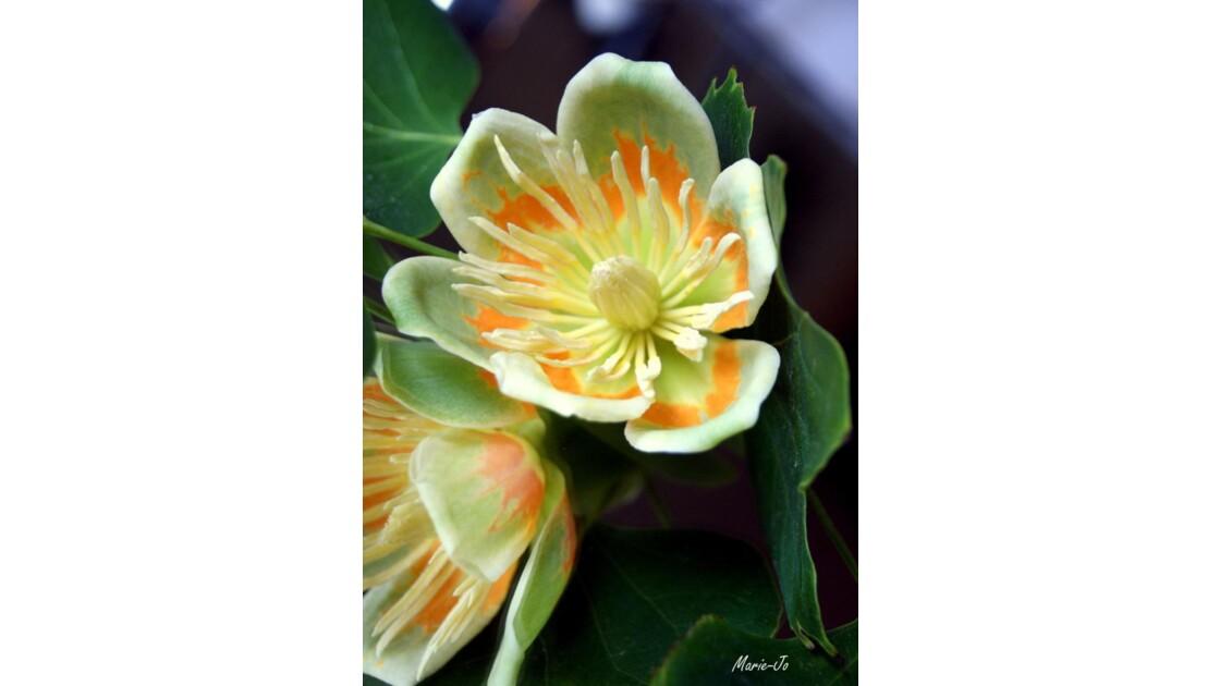 Fleur de Tulipier !!