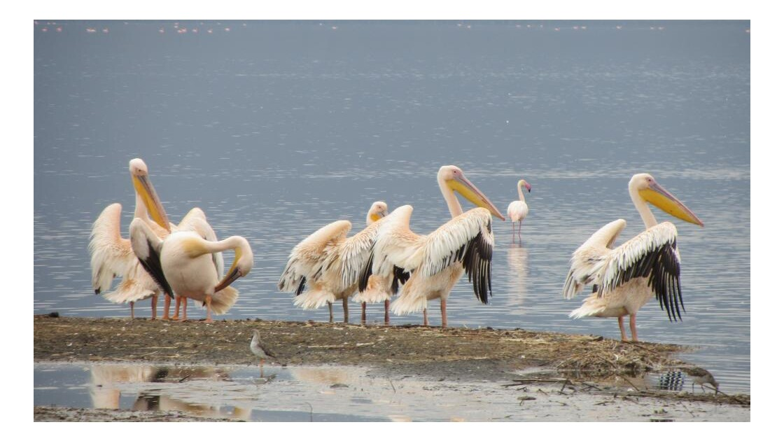 Brochette de pélicans - Lac Nakuru