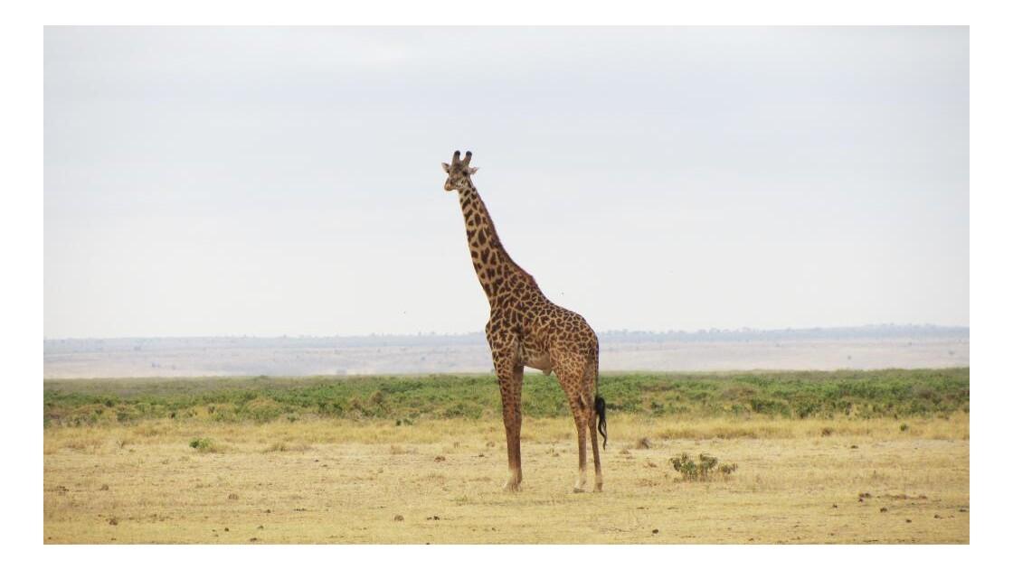 Girafe solitaire