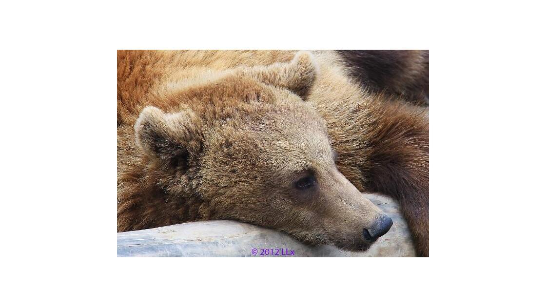 Tête d'ourson1