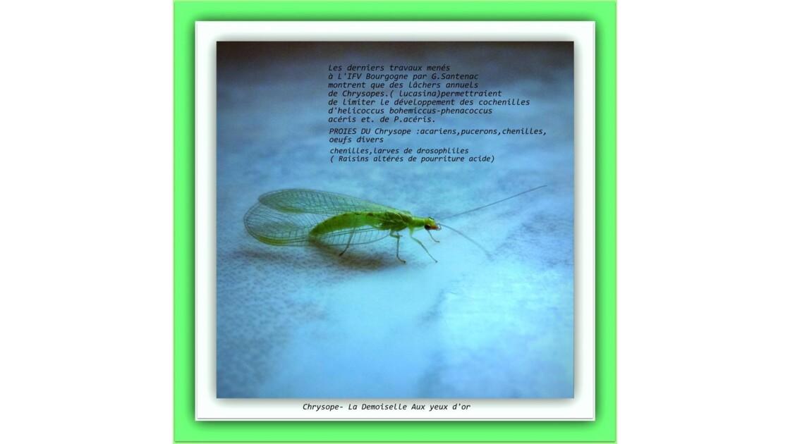 Insecte à préserver ( chrysope) !!!