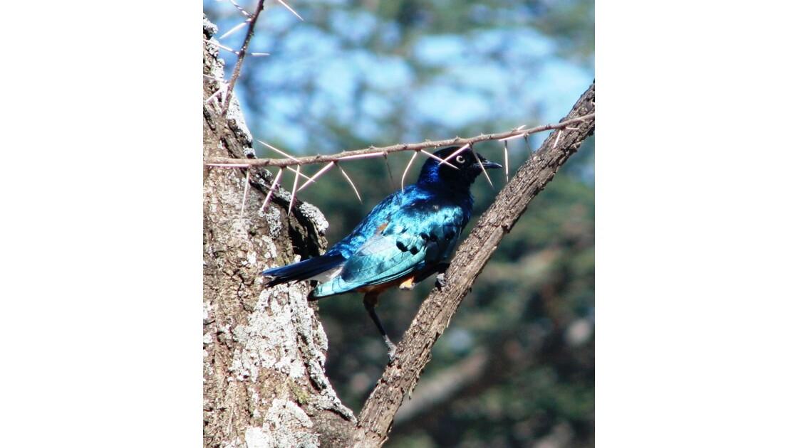 Tanzanie.GLossy Starling