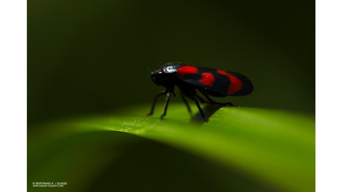 insectes jumper