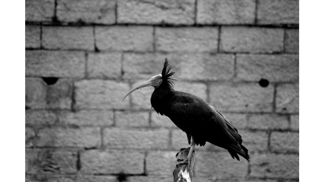 ibis_chauve.JPG