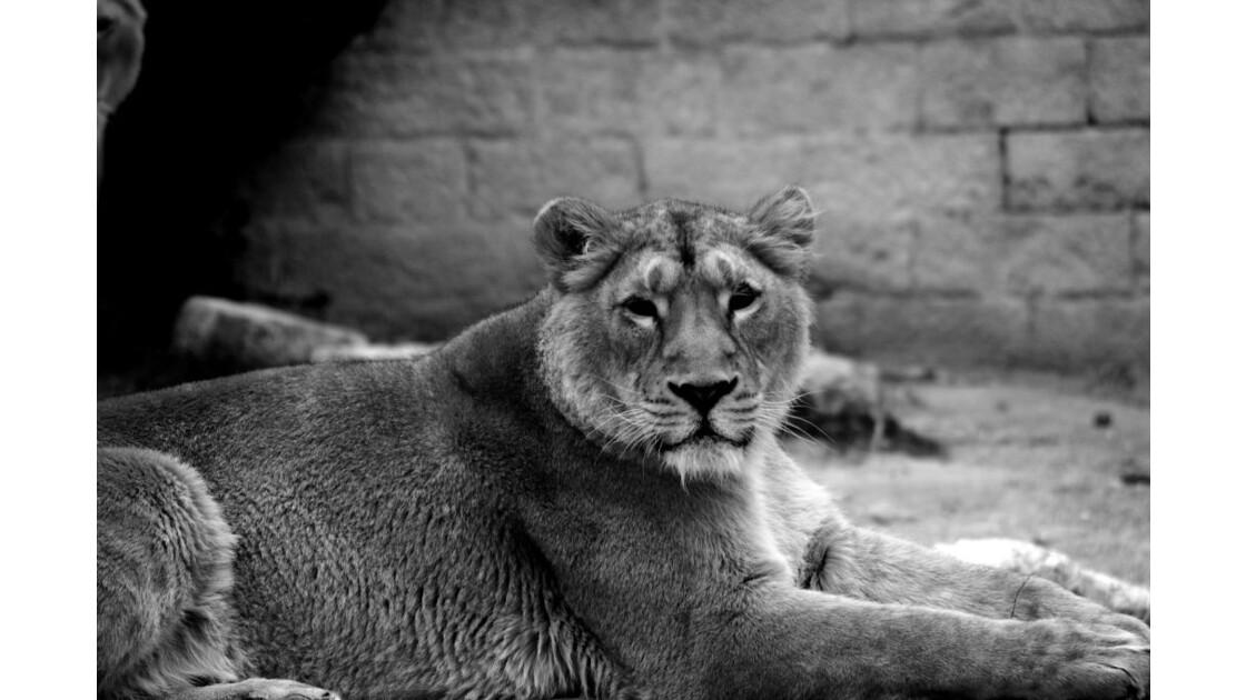 Lion_d_asie.JPG