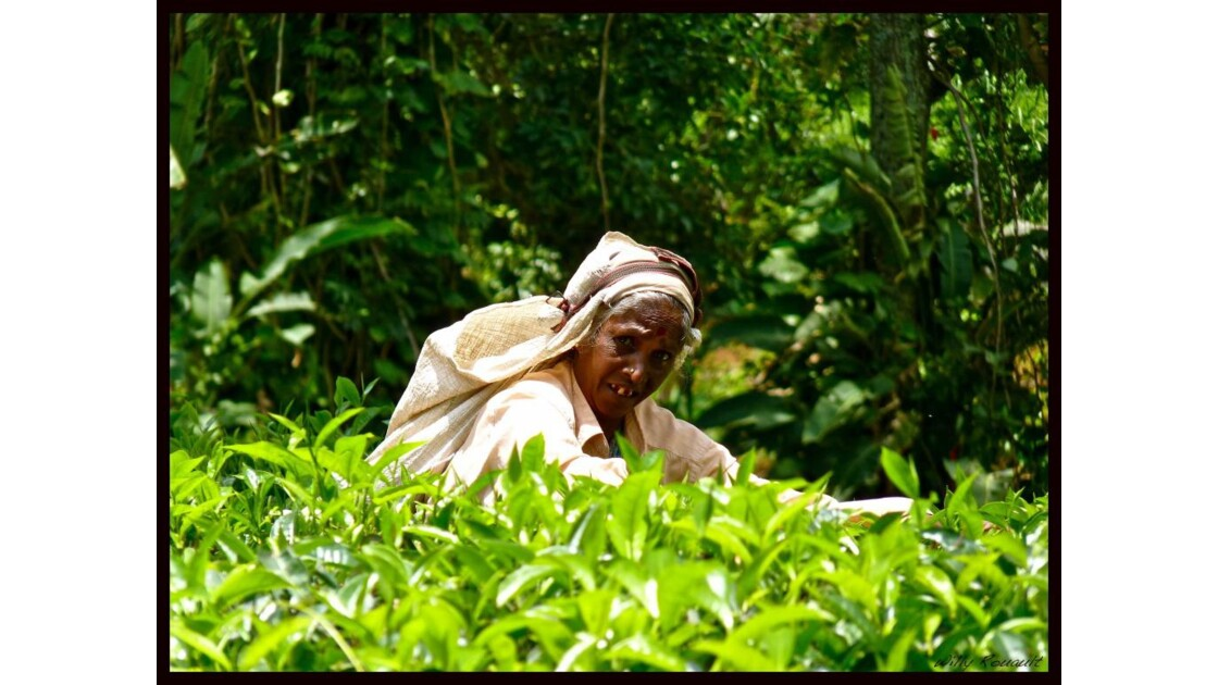 Plantations de thé, Sri Lanka
