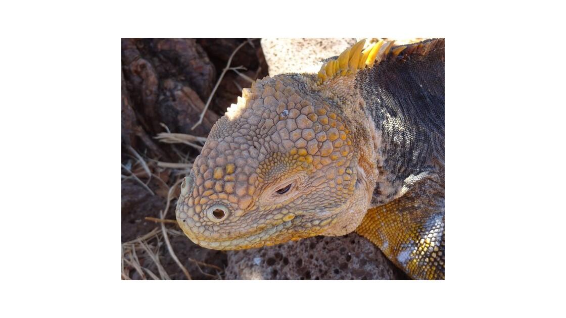 Galapagos__le_Seymour_iguane_terrestre_