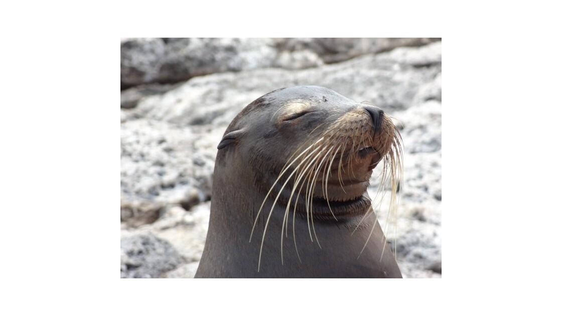 Galapagos__le_Plazas_Otarie_5__640x480_
