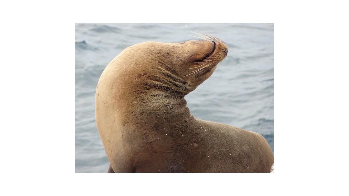 Galapagos__le_Plazas_Otarie_10__640x480