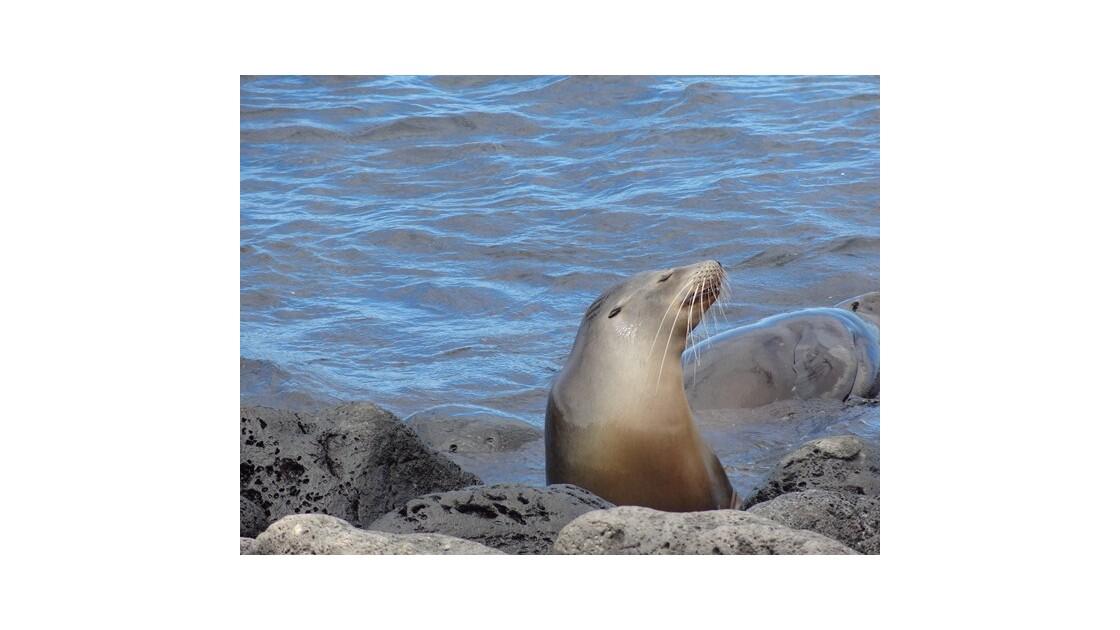 Galapagos__le_Plazas_Otarie_13__640x480
