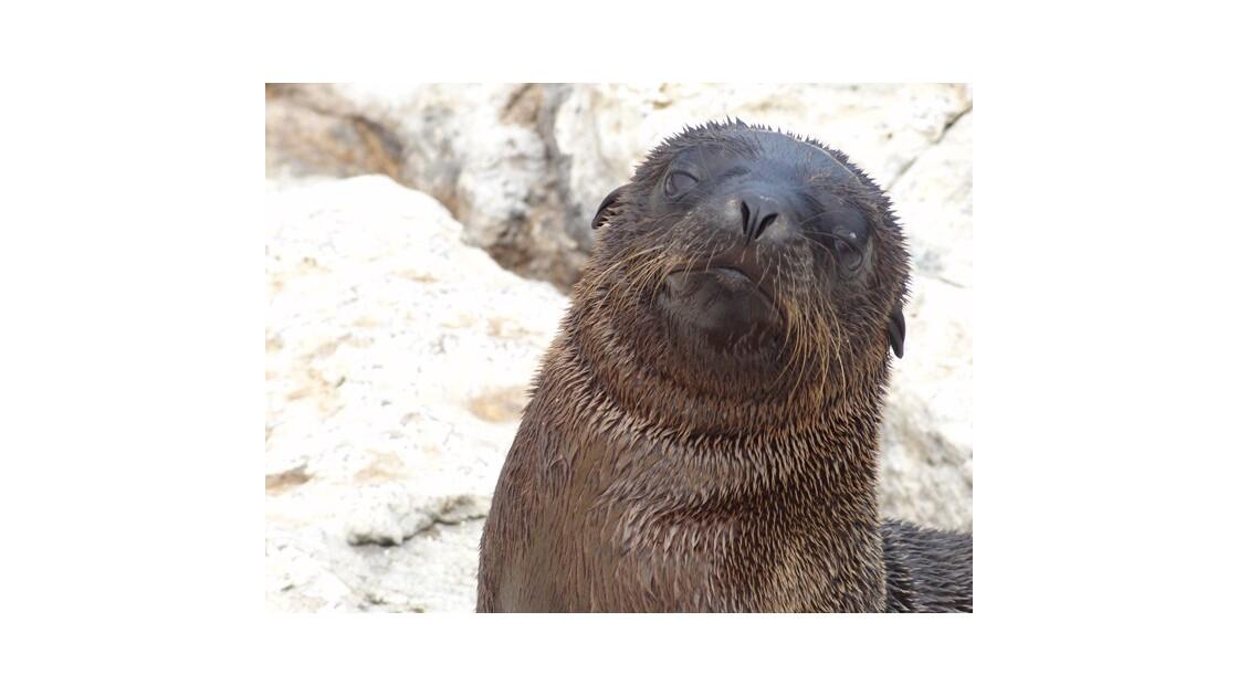Galapagos__le_Plazas_Otarie___fourrure_