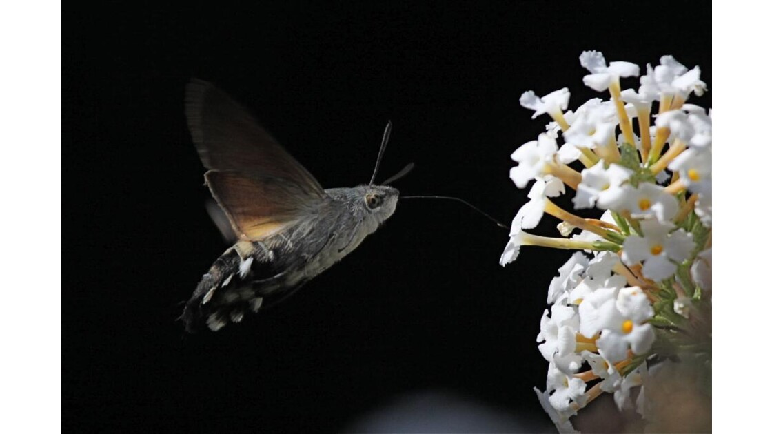 Papillon Colibri (Macroglossum)