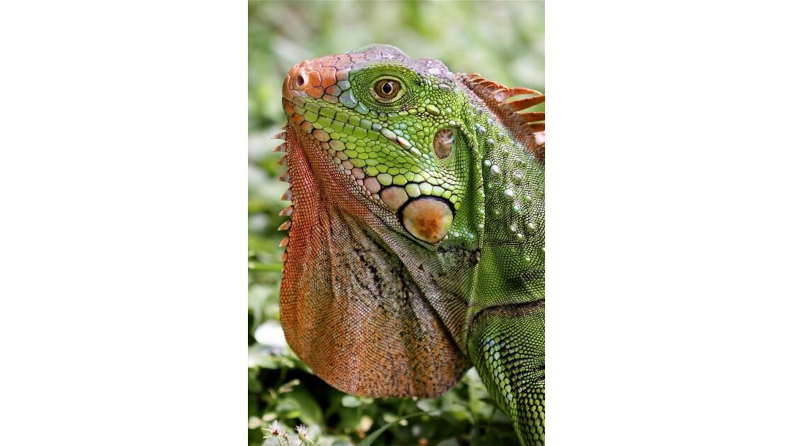 Iguane (Costa Rica)