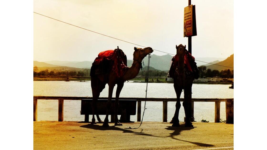 Udaipur (Rajasthan) chameaux