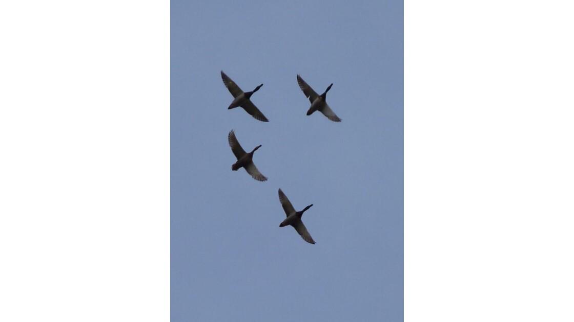 escadrille des canards :formation serrée