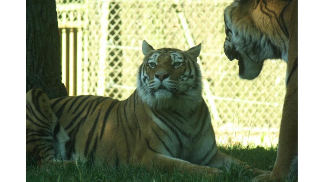 Couple de tigres.JPG