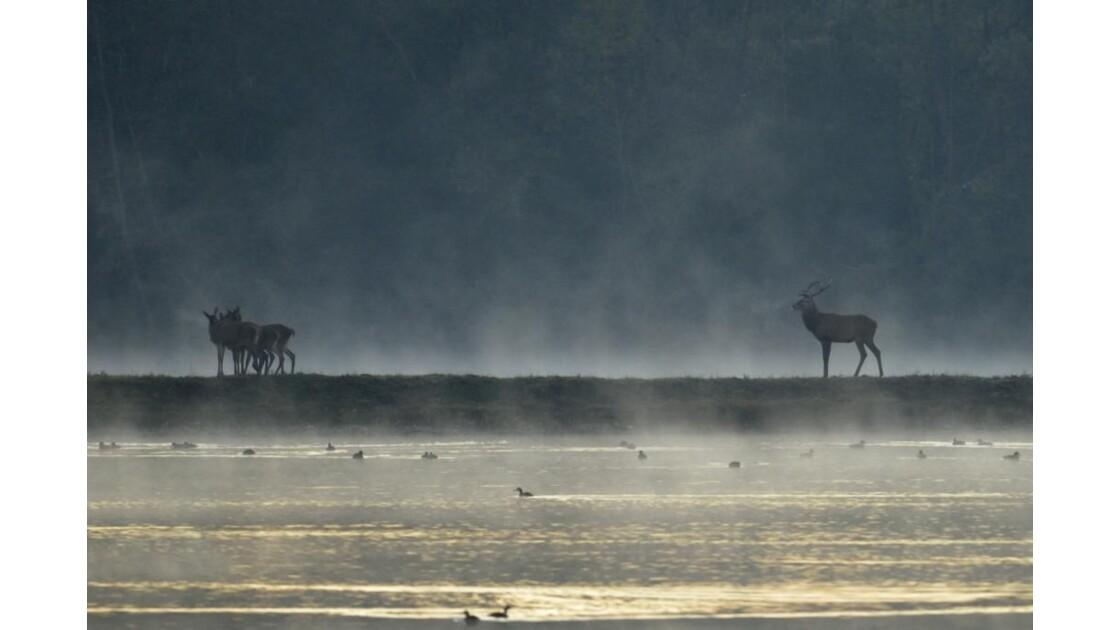 cerfs au petit matin