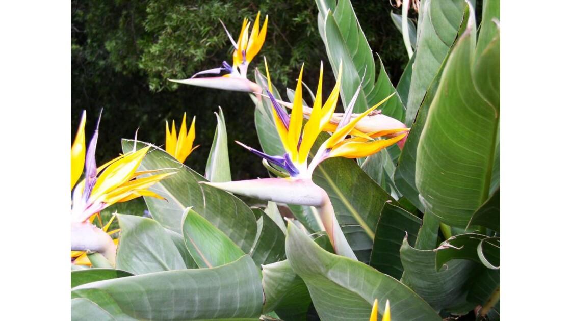 les fleurs de l'Afrique du Sud