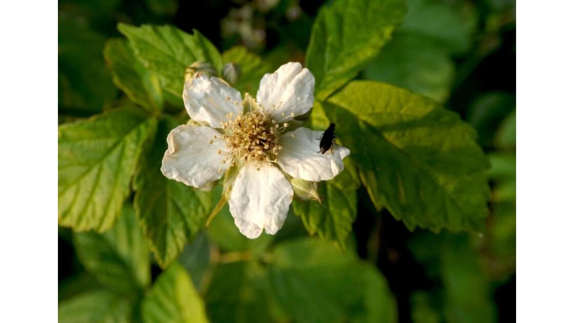 La fleur de mûrier et son bijou