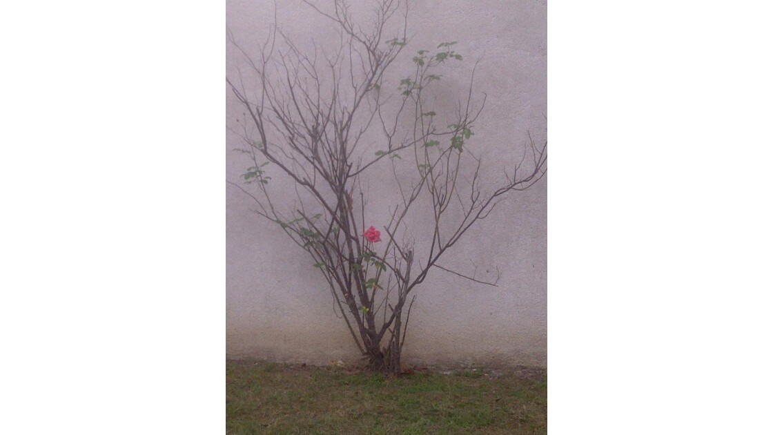 la derniere rose