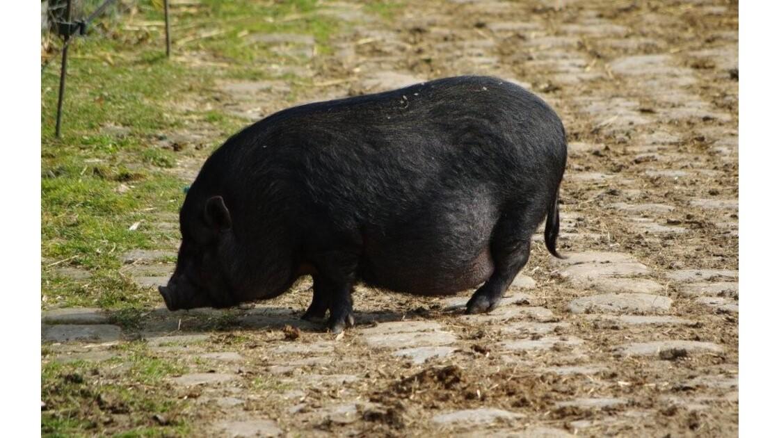 cochon nain?