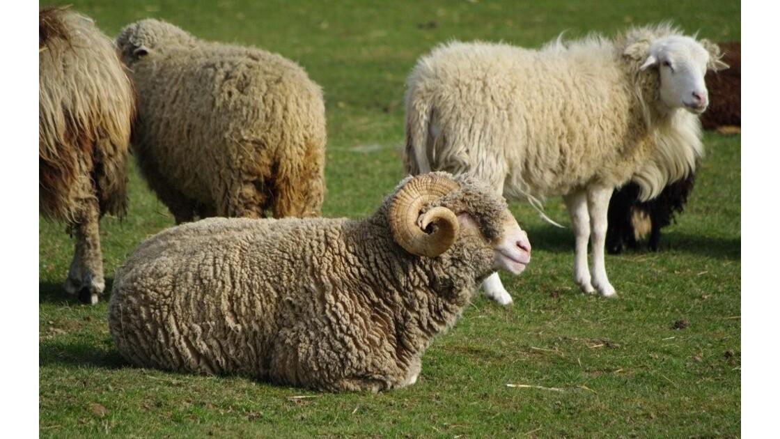 incroyables ovins