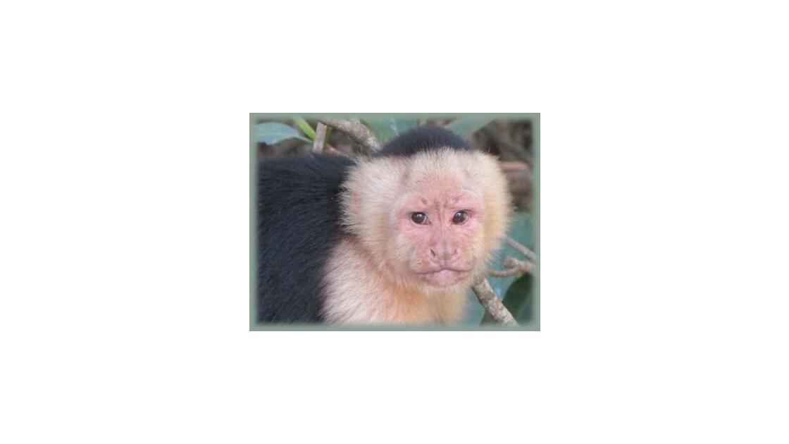 Singe capucin - Costa Rica