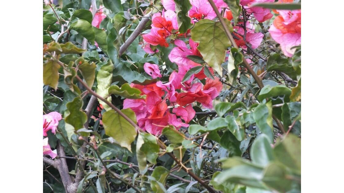 Plante à feuilles roses